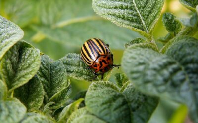 Pyrethroids: more toxic than all other pesticides