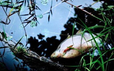 Fischsterben durch Sauerstoffmangel
