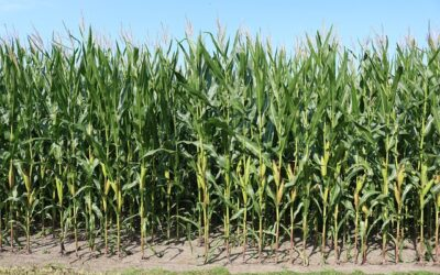 Satellite-based algorithm calculates crop water use with high precision