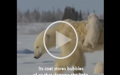 What does a polar bear have to do with desalination?
